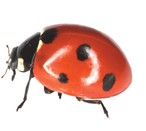 Ladybird PNG File PNG Clip art