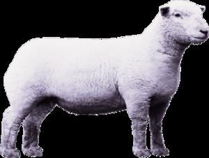 Lamb PNG Clipart PNG Clip art