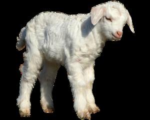 Lamb PNG Transparent Image PNG Clip art