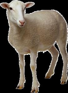 Lamb Transparent Background PNG Clip art