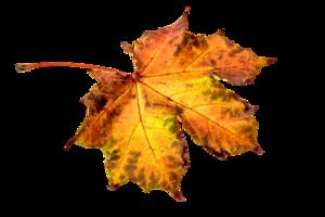 Leaf PNG Clipart PNG Clip art