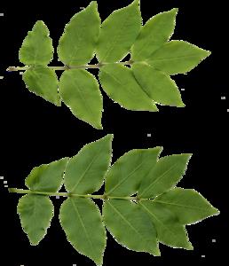 Leaf PNG Free Download PNG Clip art