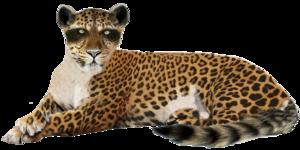Leopard PNG Image PNG Clip art