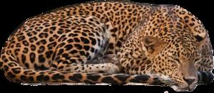 Leopard PNG Picture PNG Clip art