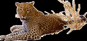 Leopard Transparent PNG PNG clipart