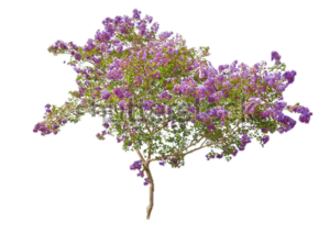 Lilac PNG Free Download PNG Clip art