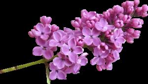 Lilac PNG Image PNG Clip art