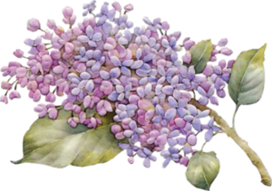 Lilac PNG Photo PNG Clip art