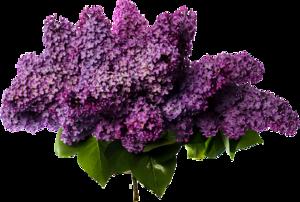 Lilac PNG Photos PNG Clip art