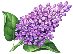 Lilac PNG Pic PNG Clip art