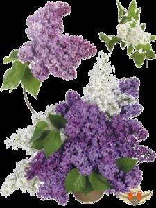 Lilac PNG Transparent Image PNG Clip art