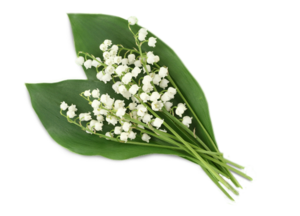 Lily of The Valley PNG Clipart PNG Clip art