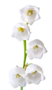 Lily of The Valley PNG Photos PNG Clip art