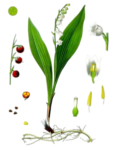 Lily of The Valley PNG Transparent Image PNG icon
