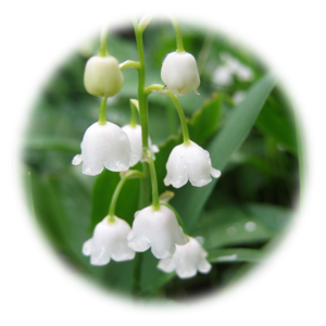 Lily of The Valley Transparent Background PNG clipart