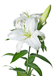 Lily PNG Image PNG Clip art