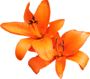 Lily PNG Photo PNG Clip art