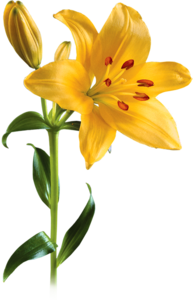 Lily PNG Picture PNG Clip art