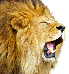 Lioness Roar PNG Free Download PNG Clip art