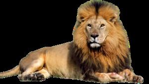 Lioness Roar PNG Image PNG Clip art