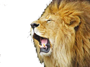 Lioness Roar PNG Picture PNG clipart