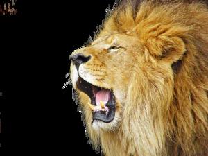 Lioness Roar PNG Picture PNG Clip art