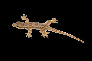 Lizard PNG Transparent Image PNG Clip art