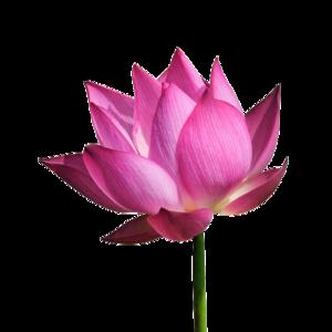 Lotus PNG File PNG Clip art