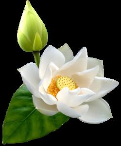 Lotus PNG HD PNG Clip art