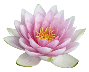Lotus PNG Image PNG Clip art