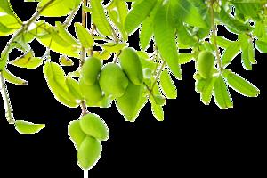 Mango PNG Transparent Background PNG Clip art