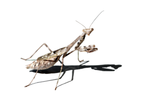 Mantis PNG Free Download PNG clipart
