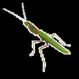 Mantis PNG Image PNG Clip art