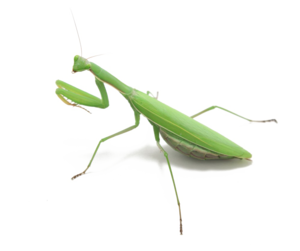 Mantis PNG Photo PNG Clip art