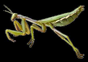 Mantis PNG Pic PNG Clip art