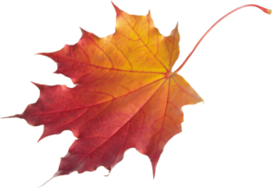 Maple Leaf PNG Clipart PNG Clip art