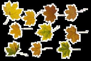 Maple Leaf PNG Photos PNG Clip art