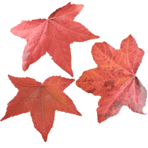 Maple Leaf PNG Picture PNG Clip art