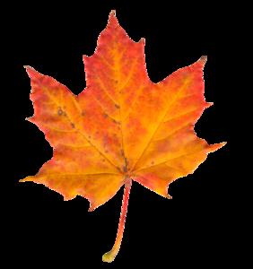 Maple Leaf PNG Transparent PNG Clip art