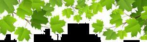 Maple Leaf Transparent Background PNG Clip art