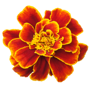 Marigold PNG Clipart PNG icon