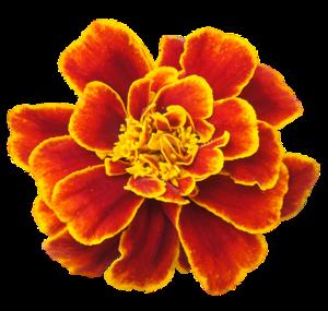 Marigold PNG Clipart PNG Clip art