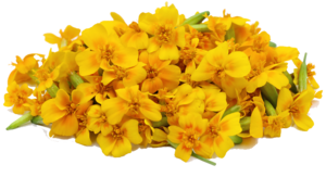 Marigold PNG File PNG icon