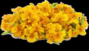 Marigold PNG File PNG Clip art