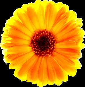 Marigold PNG Free Download PNG Clip art