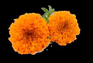 Marigold PNG HD PNG Clip art