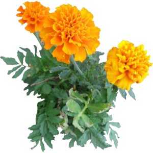 Marigold PNG Image PNG icon