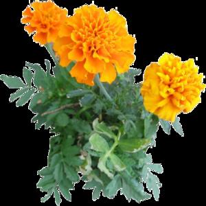 Marigold PNG Image PNG Clip art