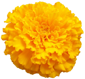 Marigold PNG Photo PNG Clip art