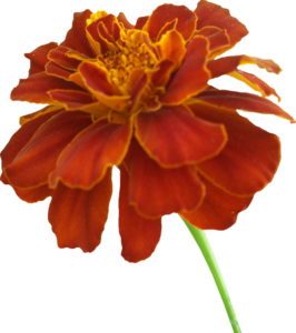 Marigold PNG Photos PNG icon